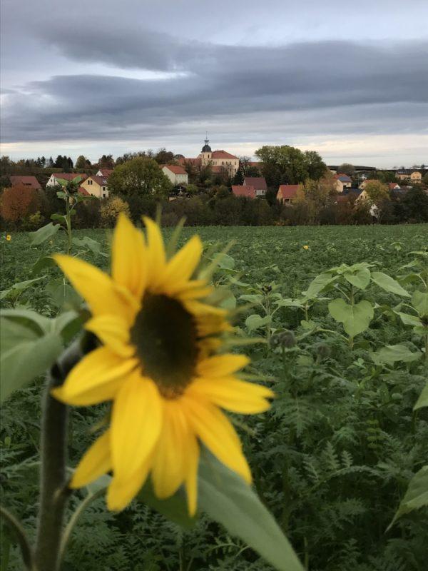 Sonnenblumen im November